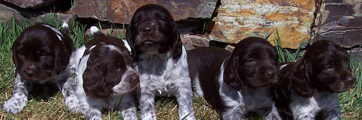 Deutscher Wachtelhund puppies