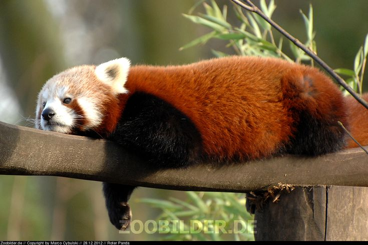 Roter Panda Raubtiere Fotografiert Von Marco Cybulski Roter Panda Susse Tiere Tiere