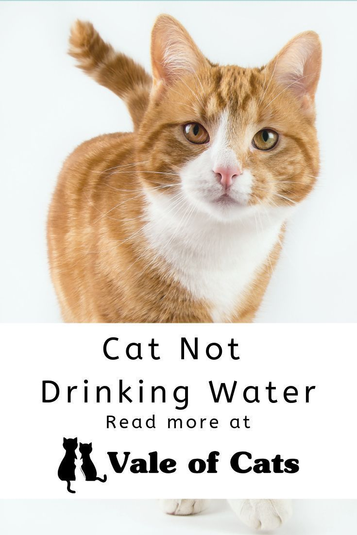 Cat Not Drinking Water Cats Smelling Large Cat Breeds Small Cat Breeds