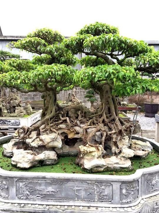 Irmãs gemeas Ficus Bonsai