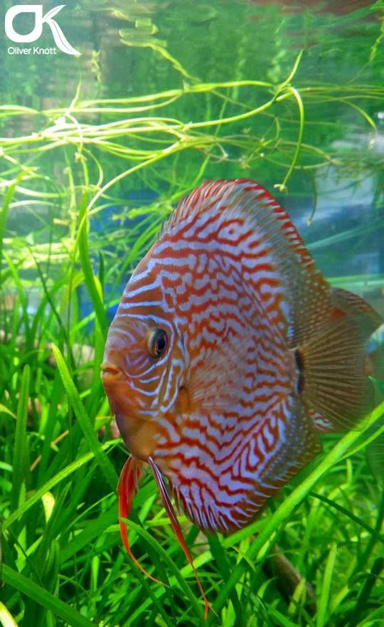 DISKUSZUCHT STENDKER GMBH & CO. KG - Diskusfische - Diskusfutter - Diskus- und Aquaristik-Informationen