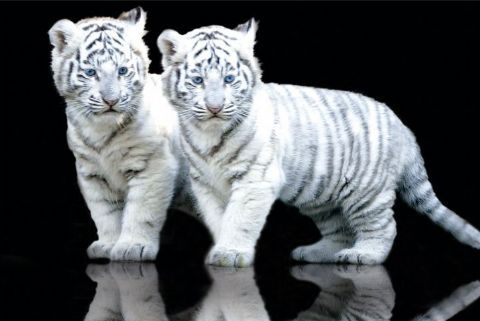 Google Image Result for http://dbscience5.wikispaces.com/file/view/white-tiger-cubs.jpg/47038533/white-tiger-cubs.jpg