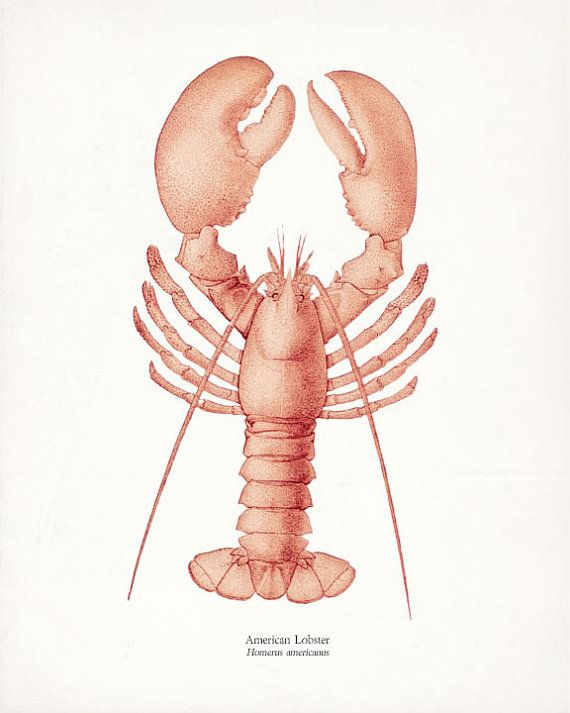 Vintage American Lobster Natural History by vintagebytheshore