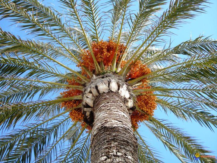 Phoenix dactylifera (Palmier-dattier)