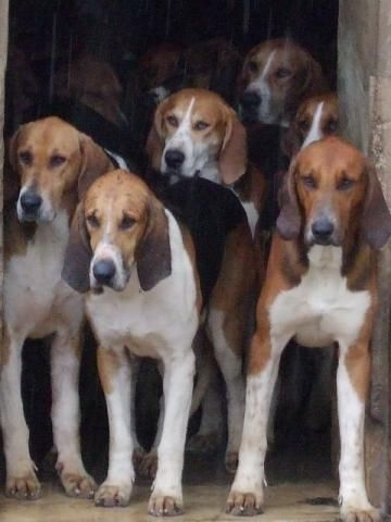 Harrier Hounds - none are as cute as Lovey!