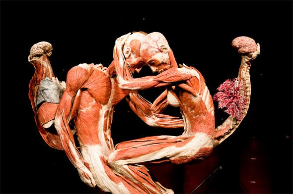 using plastinated human body to study Plastination helps us study the human body as gunther von hagens' official website states, traditionally, medical students familiarize themselves with the human body through a process of removal.