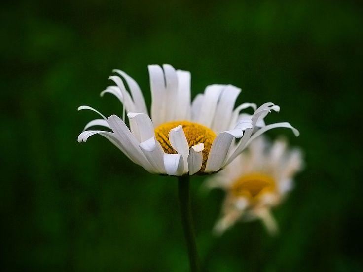 Ромашка. Усадьба Грибаново. Россия. фото: Ирина Майсова #flowers, #wildflowers, #bouquetflowers, #nature, #ecology,#camomile