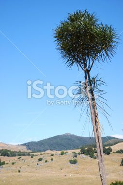 Lancewood Tree, Canaan Downs, Abel Tasman National Park, NZ Royalty Free Stock Photo