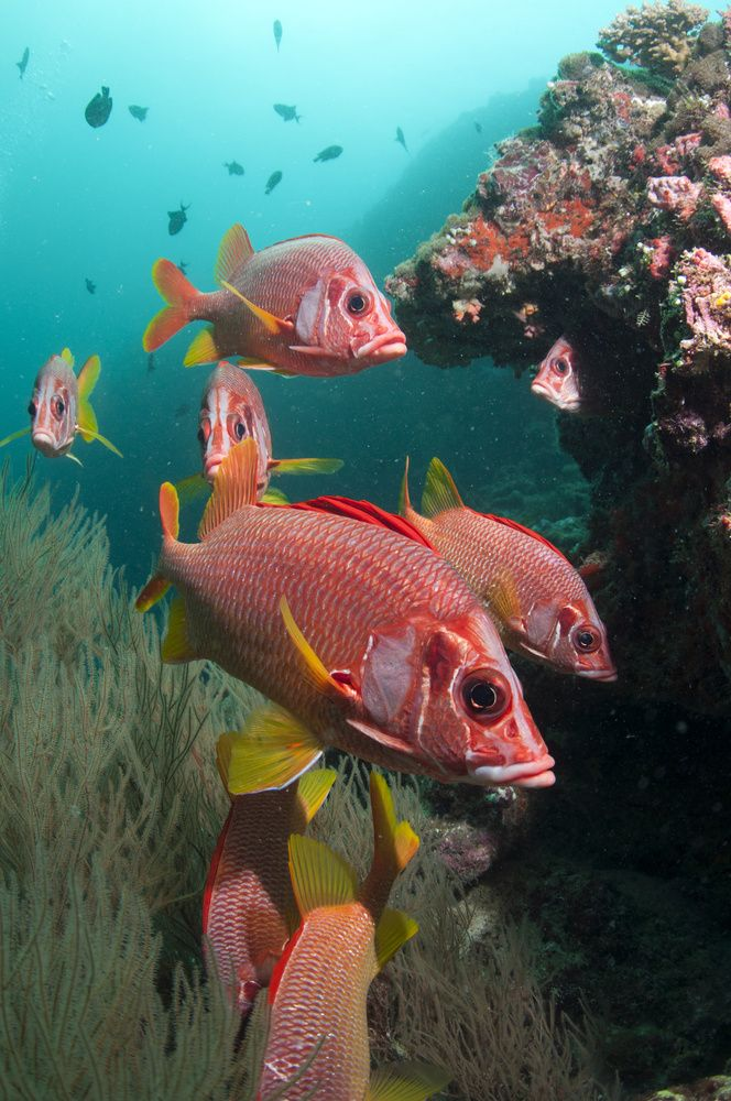 Squirrel fish, tropical parts of the Indian, Pacific, & Atlantic Oceans