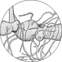 solomons seal hyperrhiz logo