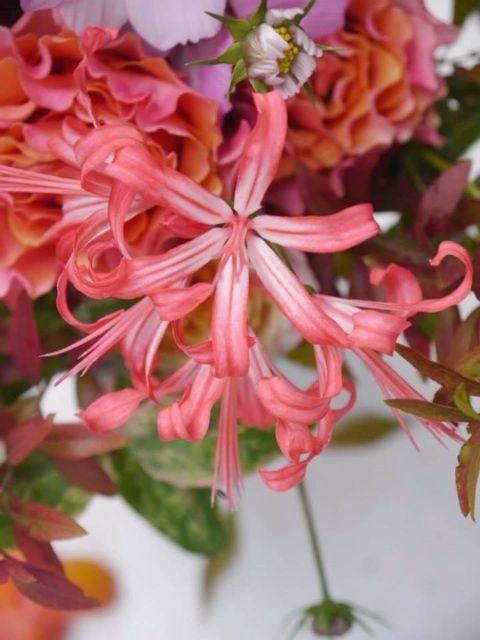 N.sarniensis (Diamond Lily)