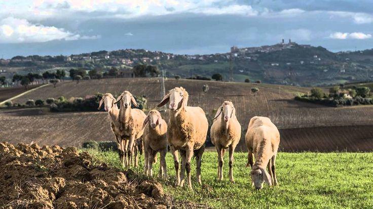 INTERVALLO A LORETO. #intervalloRAI #anni70 #gregge #pascolo #SantuariodiLoreto #intervallo #RAI #musica #music #arpa #harp #sheep #hills #beauty #nature #countryside #autumn #autunno #Marchenatura #campagna #Loreto #colline #pecore #Loretoturismo (Ph. by p.a.renoir on istagram & Andrea Carnevalini).