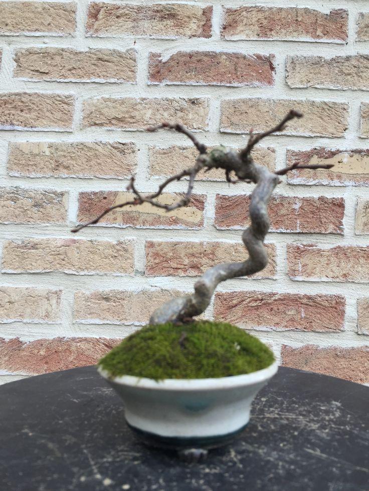 2 - Carpinus coreana (03/2015)