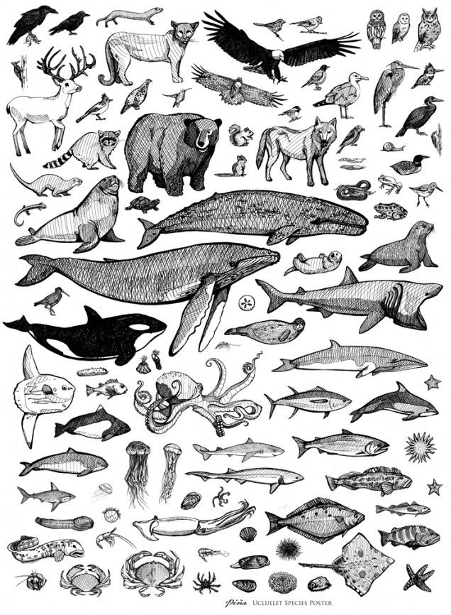 Ucluelet species poster from Pina