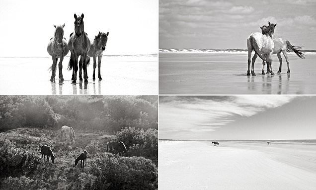 Cumberland Island's wild horses are captured in a new stunning book