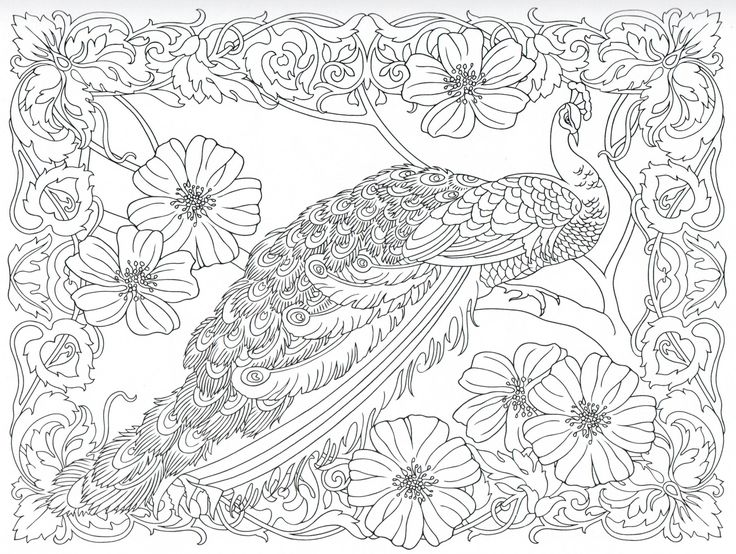 peacock coloring page 2531