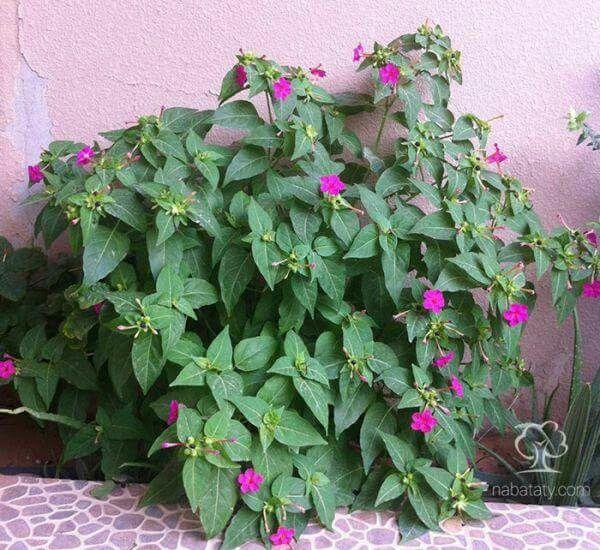 نبتة شب الليل Mirabilis Jalapa ويسمى أيضا نبات الساعة الرابعة وهو شجيرة صغيرة من فصيلة الجهنمية ويصل ارتفاعها إلى حوالي نصف المتر Plants Garden Landscape