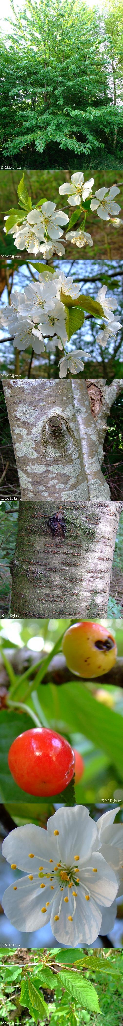 Zoete kers - Prunus avium (de zure kers is niet inheems) hout: mooi, goede kwaliteit vruchten: eetbaar, hoestmiddeltje