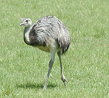 Rheas are large, flightless birds with gray-brown plumage, long legs and long necks, similar to an ostrich. Large males of R. americana can reach 170 cm (67 in) tall at the head, 100 cm (39 in) at the back and can weigh up to 40 kg (88 lb),[6] The Lesser Rhea is somewhat smaller as they are only 90 cm (35 in) tall at the back. Their wings are large for a flightless bird (250 cm (8.2 ft)) and are spread while running, to act like sails. Unlike most birds, rheas have only three toes.