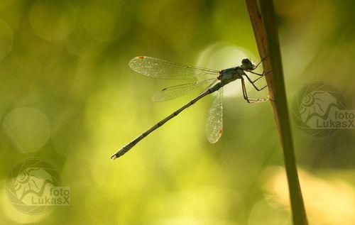 Vážka v ranním světle