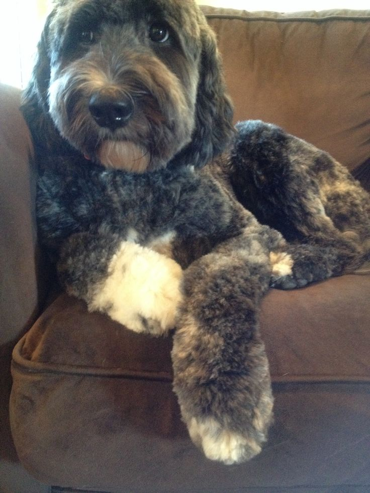 Our Pyreedoodle , Annie. She's half standard Poodle ,half ...