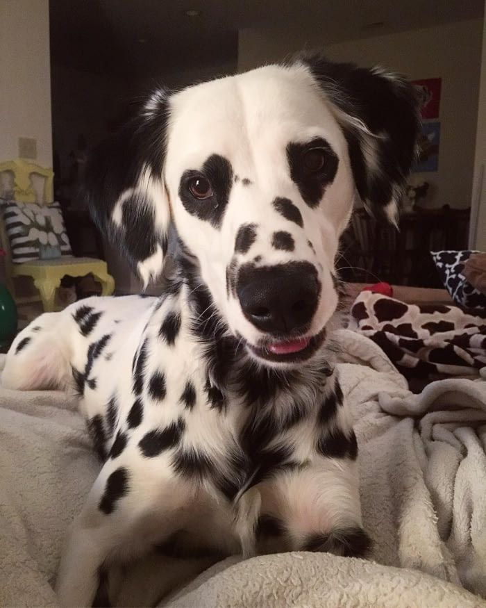Adorable Dalmatian Becomes Internet Famous With His Heart Shaped
