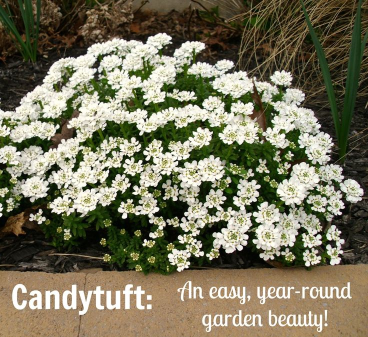 Candytuft A Gorgeous Evergreen Perennial With White Flowers You Ll Love This Plant