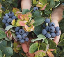 BrazelBerries® Peach Sorbet™ Blueberry Bush for Sale | Fast-Growing-Trees.com