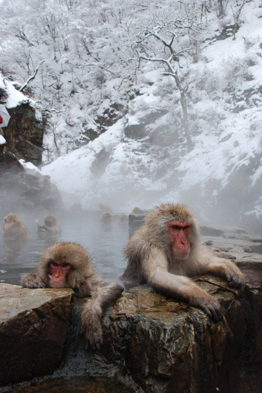 """""""Snow Monkey"""" (Japanese macaque) in Hot spring #Nagano #Japan - omg! i love these guys! they are so funny in the National Geographic Doco!"""