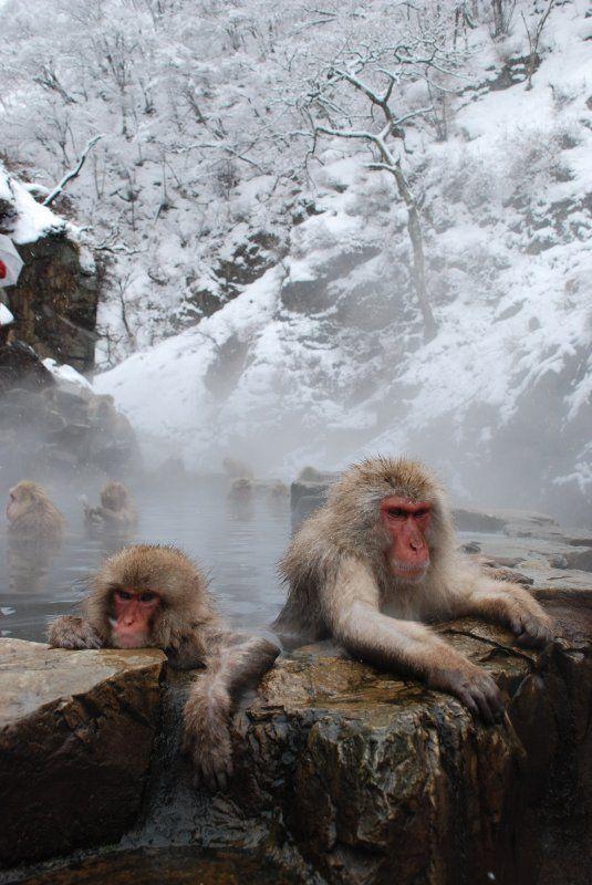 Snow in Japanese macaque at hot spring, Nagano, Japan