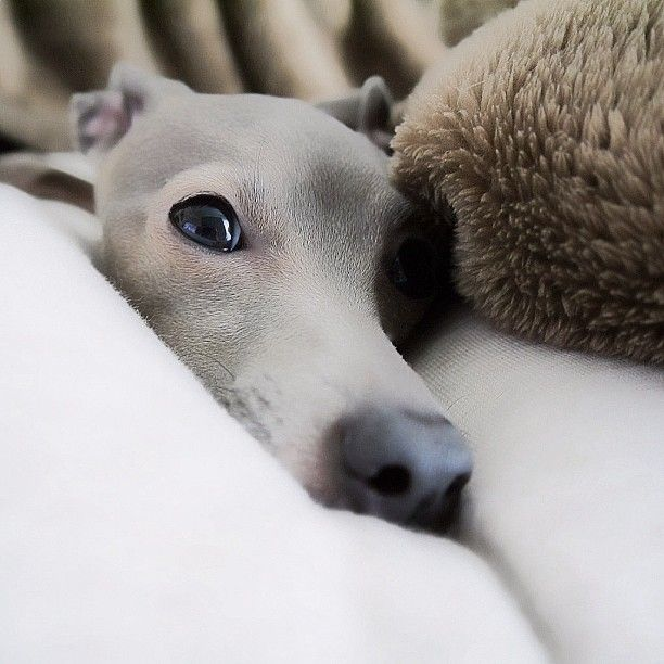 ~ ♥ Italian greyhound ~is it possible to find a sweeter little face?  The answer is no.