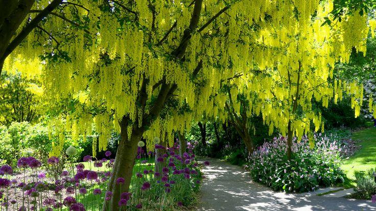 https://flic.kr/p/FYLxTC | VanDusen Botanical Garden - Laburnum Walk | en.wikipedia.org/wiki/Laburnum