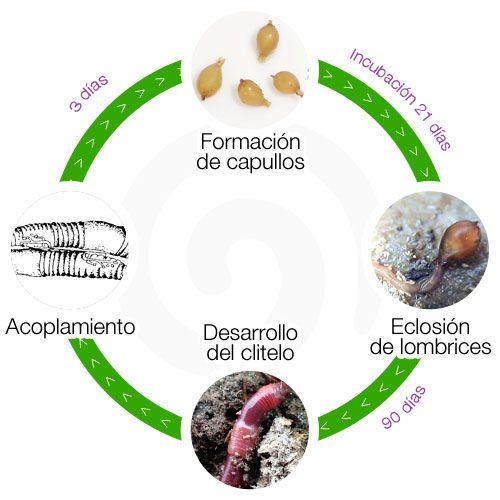 Lombrices californianas, ciclo de vida y caracteristicas de su especie