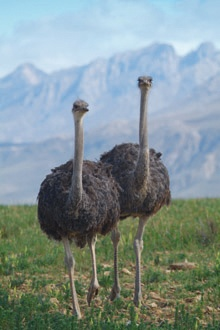 10 Great things to do around Oudtshoorn(Ostrich area)