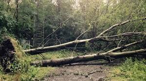 Ons natuurlijk proces is verschraling. We hebben gekozen voor stormhout. Wanneer een boom omvalt en de wortelkluit komt mee omhoog verdwijnt op die plek de toplaag met de vele voedingsstoffen. Daardoor kunnen nieuwe zaailingen zich ontwikkelen.