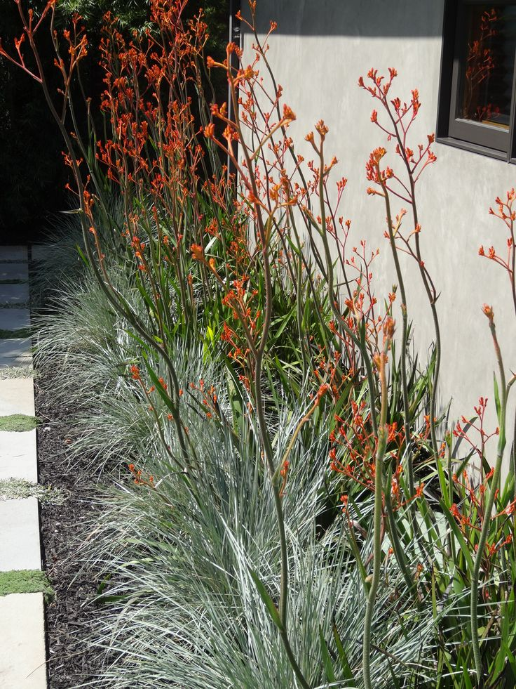 blue plants with kangaroo paws - Google Search