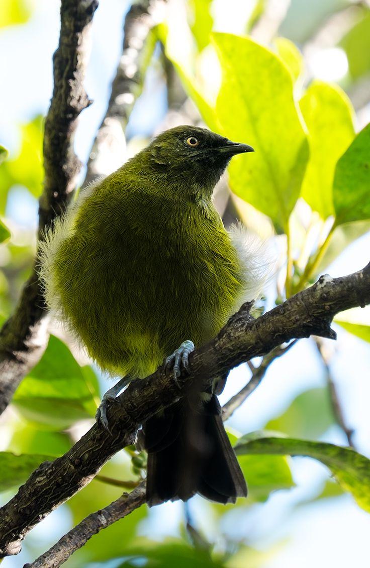 Beautiful Bellbird near Milford Sound, New Zealand