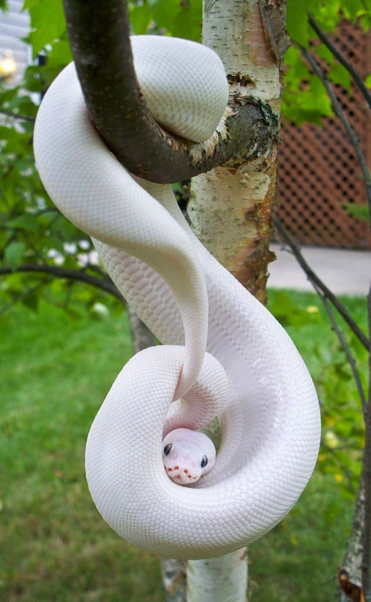 "White Python, member of the ""White Ball Python Phenomenon."" These beautiful white gems have been produced from Lesser Platinum, Mojave, Phantom, and high-yellow animals from the Russo het Leucistic line."