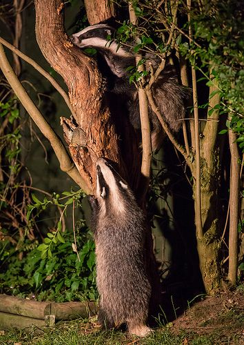 Two badgers climbing a tree.