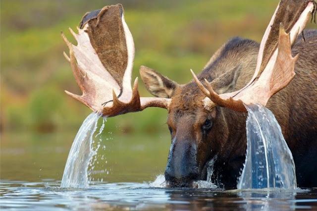 Cascada animal  En esta singular fotografía se puede observar a un alce americano, conocido también como oriñal, abrevando en un río.   Esta especie se puede encontrar en América del Norte (principalmente en Canadá), y siempre por debajo del Círculo Polar Ártico.