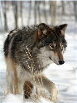 Colorado Wolf and Wildlife Preserve, Divide, CO