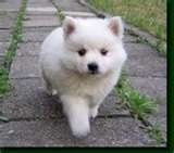 Future (imaginary) samoyed puppy named Fred