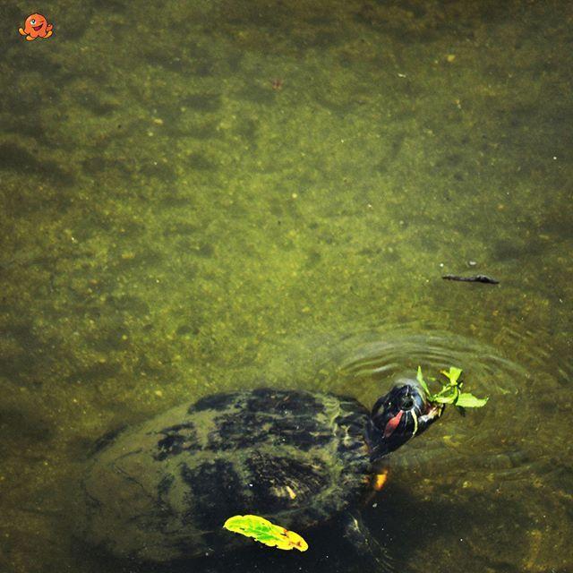 Tuż obok mojego domuw rzecemożna obserwować liczną faunę, tutaj objadający się żółw.  Next, to my house, I can observedifferent types of animals, here turtle eating leaves.  #japan #japonia #nihon #nippon #japon #turtle #turtles #canal #river