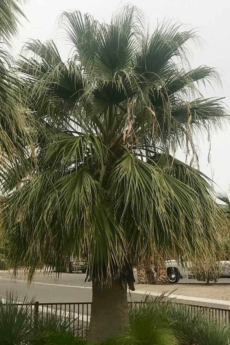 Best 25+ Mexican fan palm ideas on Pinterest | Fan palm ...