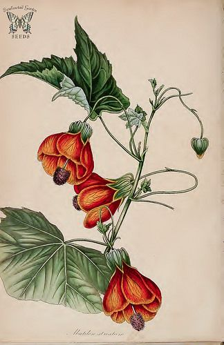 Flowering Maple. Abutilon pictum. Bees and hummingbirds are attracted to the yellow to orange-red, dark-veined, bell-shaped flowers that cover this beautiful shrub all summer long. (Paxton's) Magazine of Botany and Register Vol. 7 (1840)