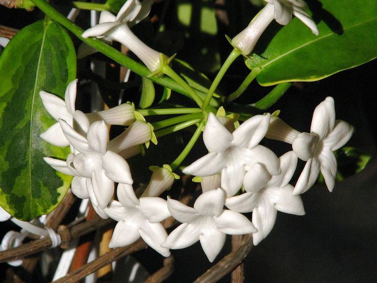 Stephanotis flowers to be incorporated into the bride's bouquet - family tradition