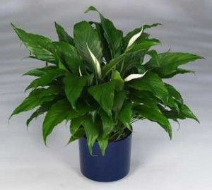 why do peace lily get brown leaves and tips garden pinterest peace lily and plants. Black Bedroom Furniture Sets. Home Design Ideas