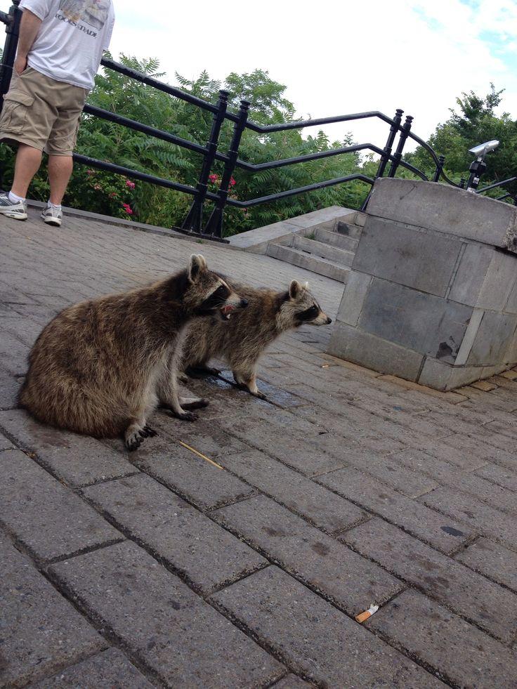 Raccoon friends in Montreal. Penses-tu les Parler Français?
