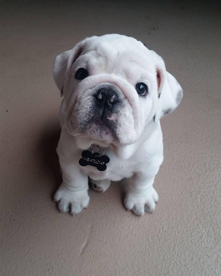 Won't you give this Bulldog a hug?