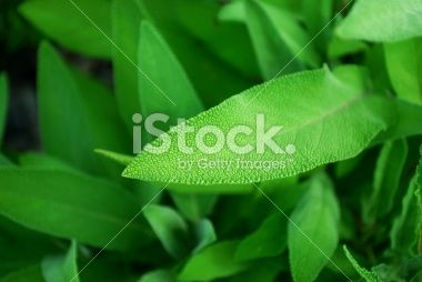 Sage Royalty Free Stock Photo